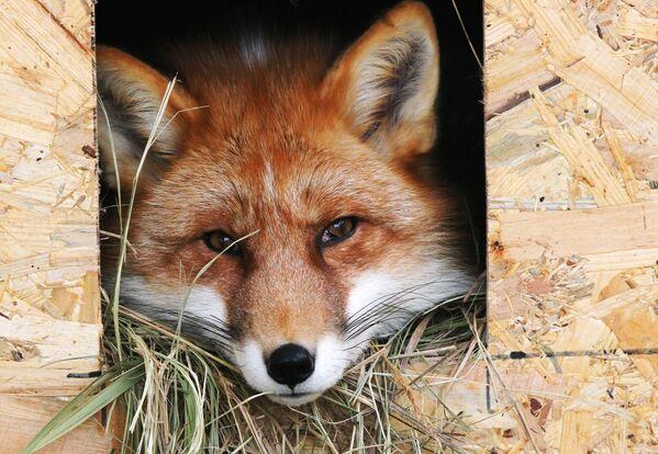 Лиса в вольере в Доме русской лисы в городе Дзержинский Московской области
