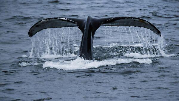Горбатый кит в районе островов Аделейд и Земли Александра I в Антарктиде