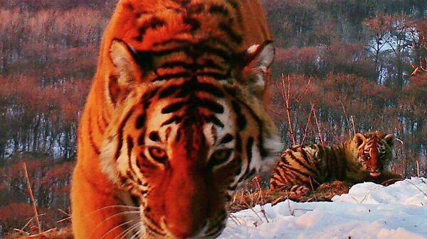Амурский тигр в национальном парке Земля леопарда в Приморском крае