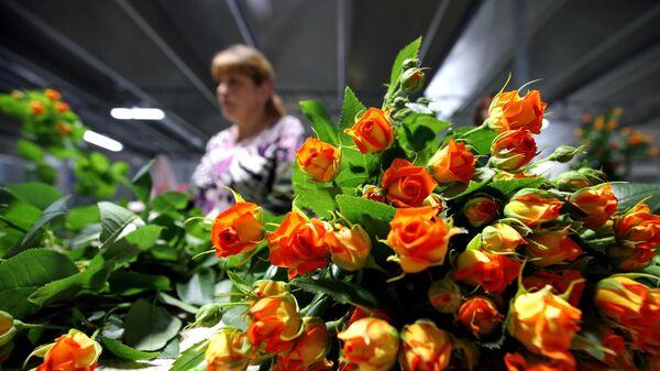 Розы в тепличном комплексе Зелёный дом в республике Адыгея