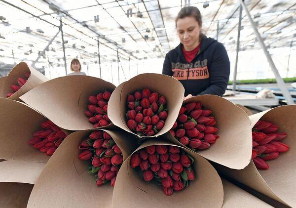 Сотрудница упаковывает букеты цветов к празднику 8 Марта в оранжерее муниципального предприятия Управление зеленого строительства в Красноярске