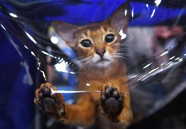 Кошка породы абиссинская на международной выставке Кэтсбург в выставочном центре Крокус Экспо в Красногорске