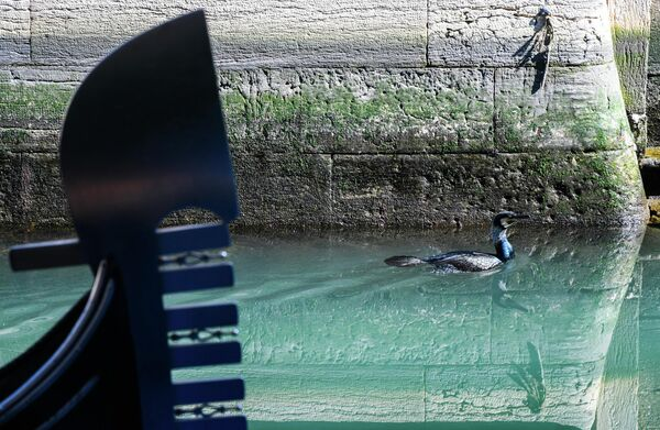 Птица плавает в канале Венеции