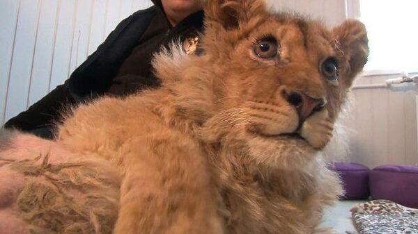Жертва фотоиндустрии: челябинский ветеринар спасает львенка