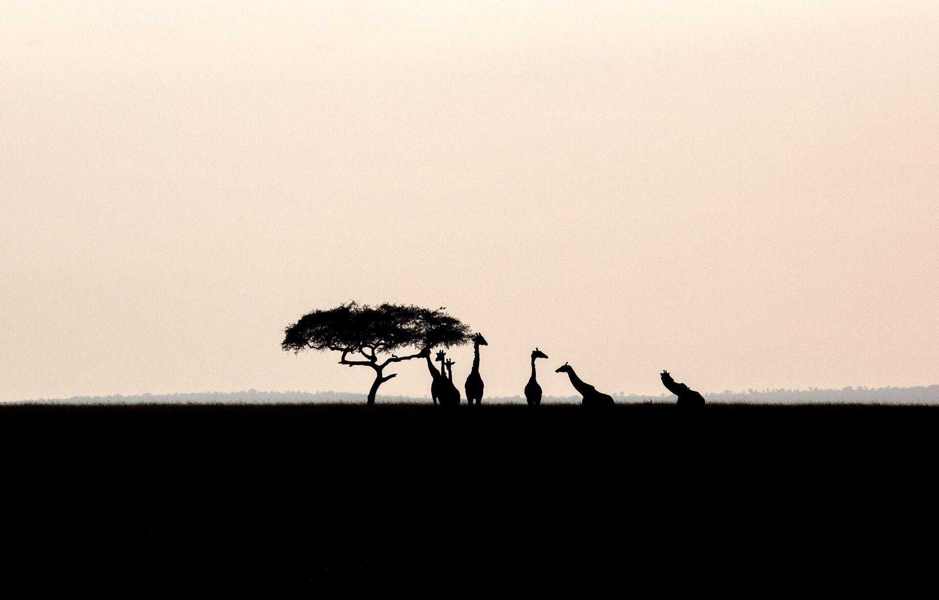 Жирафы в национальном заповеднике Масаи-Мара в Кении - РИА Новости, 1920, 09.11.2020