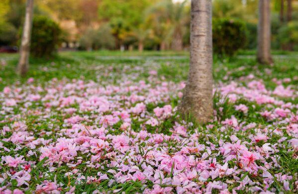 Лепестки на аллее Черешневый сад в Сочи