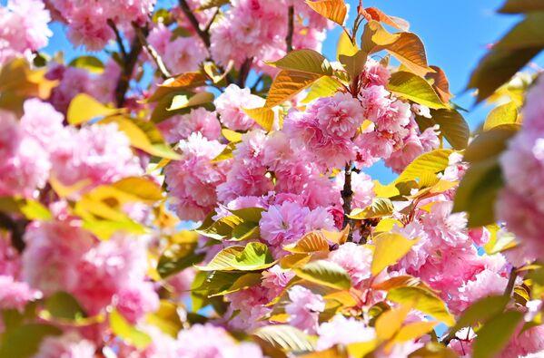 Цветение деревьев на аллее Черешневый сад в Сочи