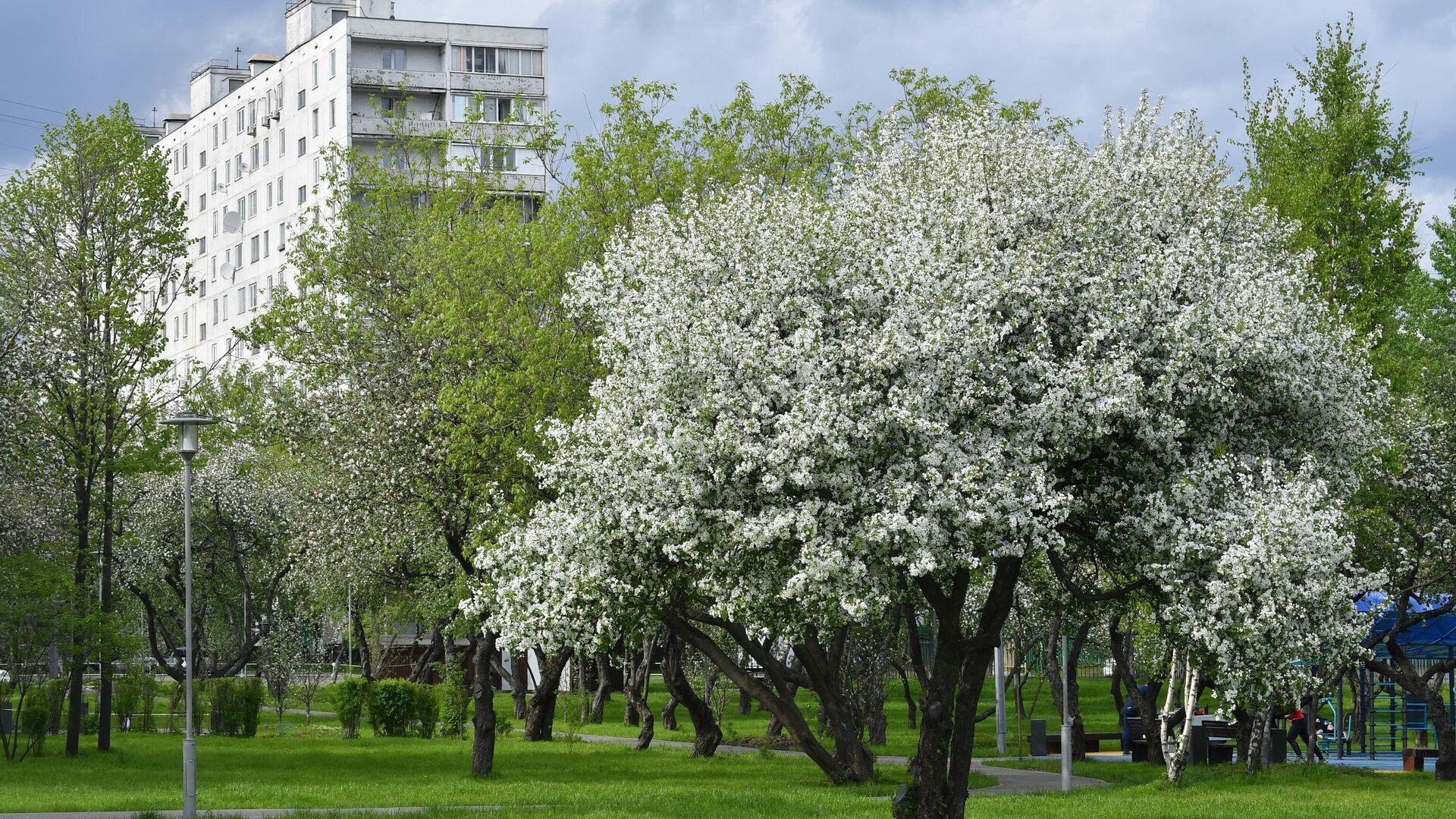 Цветение деревьев в Москве   - РИА Новости, 1920, 10.03.2021