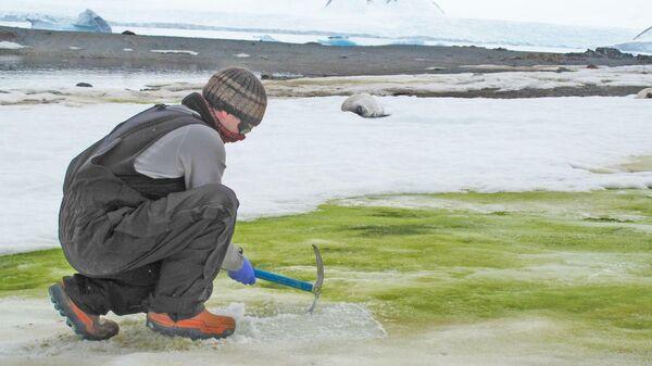 В Антарктиде все шире распространяется зеленый снег, в котором живут водоросли