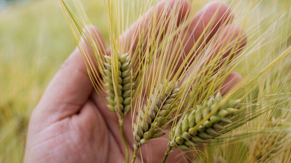 В Алтайском крае значительно улучшилось качество пшеницы нового урожая