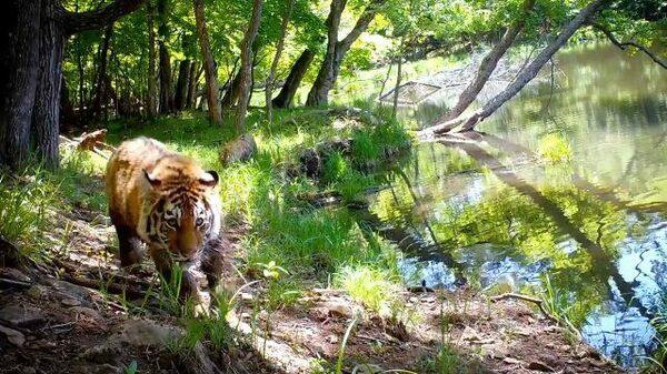 Семейство амурских тигров попало в фотоловушку на Дальнем Востоке