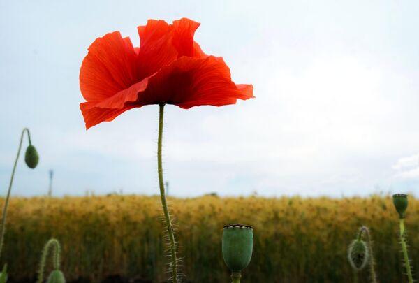 Цветы мака на фоне поля молодой пшеницы в хуторе Железный Краснодарского края