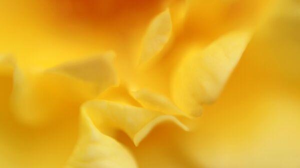 Роза сорта Голштерн на выставке роз в Ботаническом саду МГУ Аптекарский огород