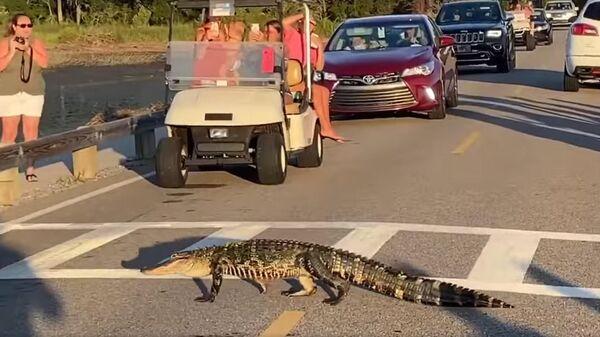 Аллигатор переходит дорогу в государственном парке Хантингтон-Бич