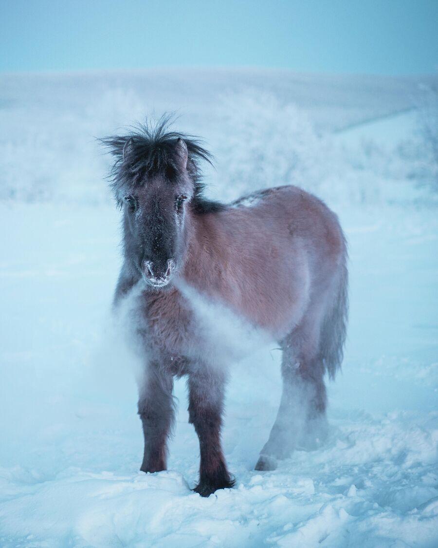 Жеребёнок Якутской лошади
