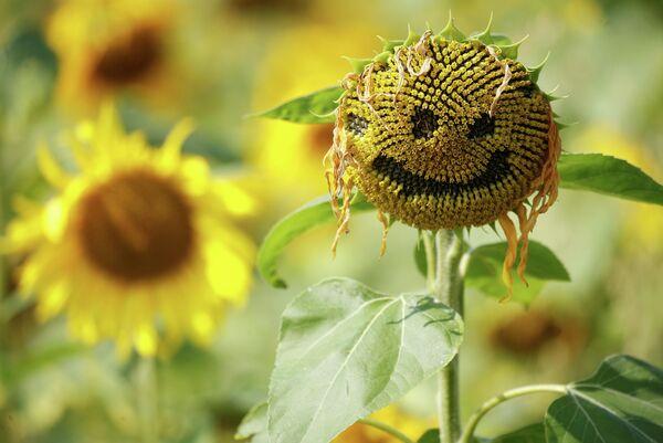 Смайлик вырезанный в цветке подсолнуха, Данхем Массей, Великобритания