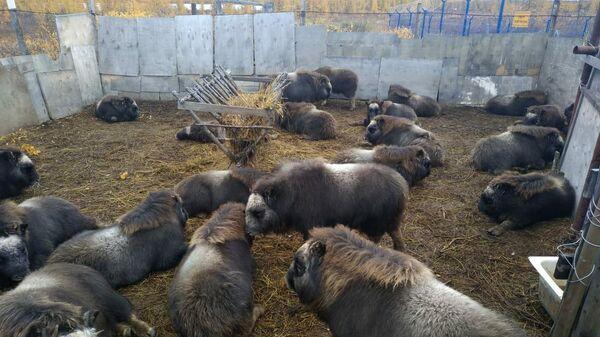 Телята овцебыков в вольере в селе Саскылах, отловленные для передачи в Магаданскую область