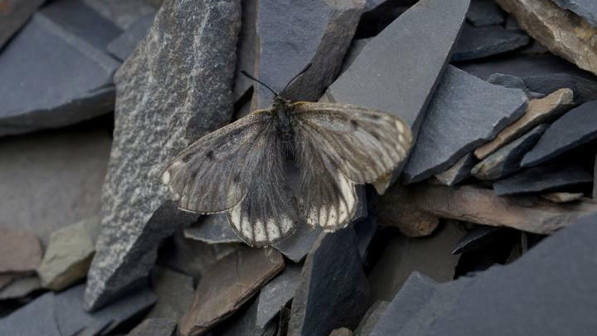 Новый подвид арктической бабочки-аполлона Parnassius arcticus arbugaevi - РИА Новости, 1920, 09.10.2020