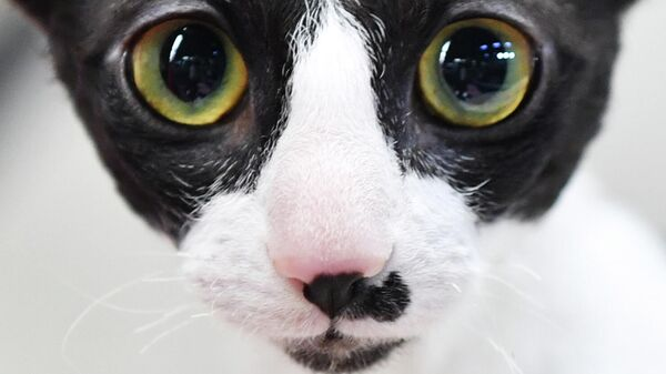 Кошка породы корниш-рекс на выставке КоШарики Шоу в Сокольниках