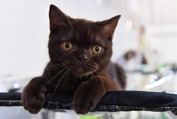 Кошка на выставке КоШарики Шоу в Сокольниках