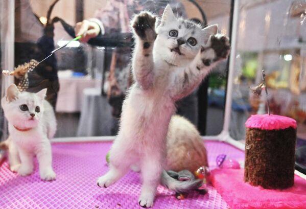 Котята британской породы на выставке КоШарики Шоу в Сокольниках