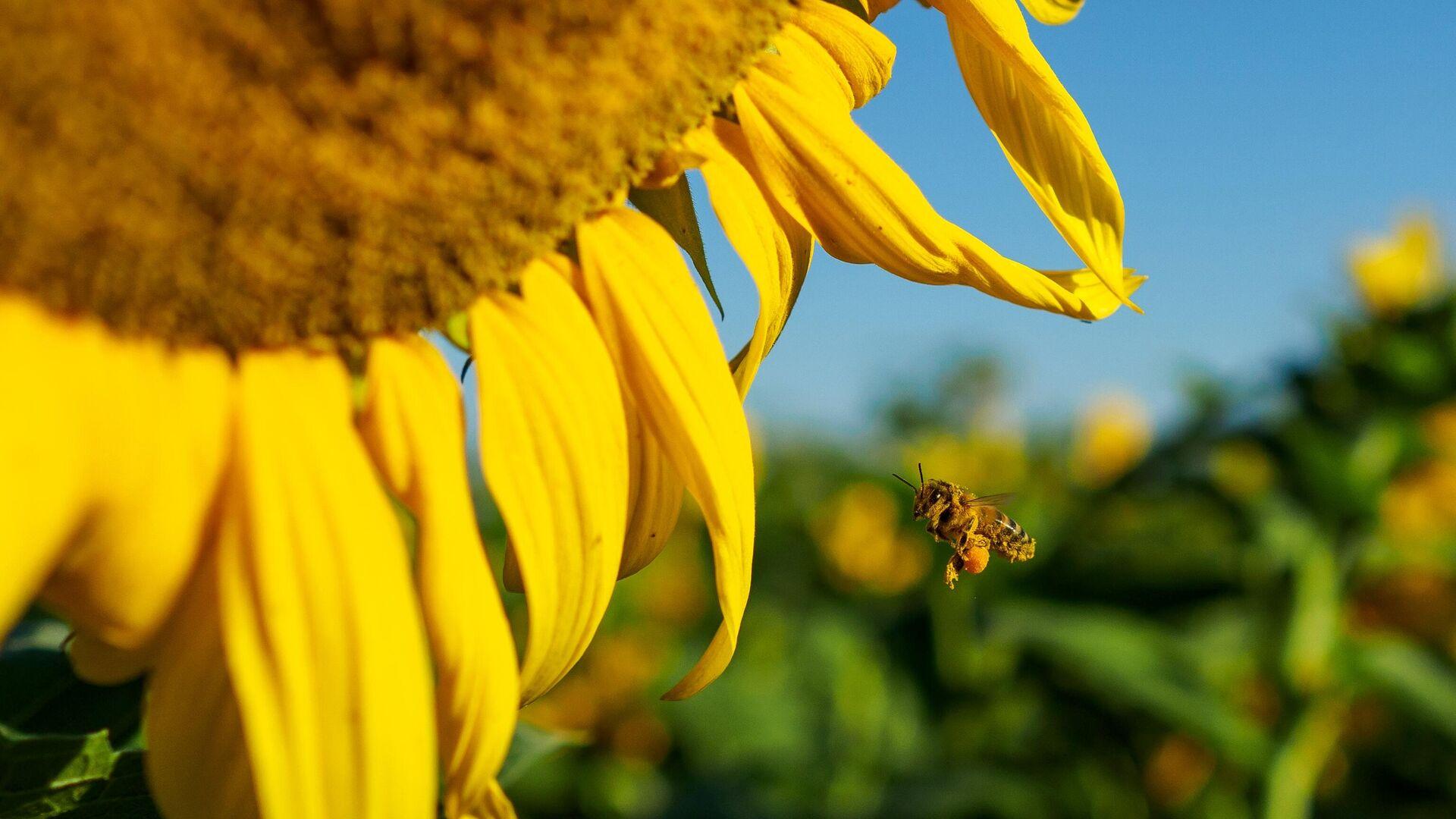 Пчела около цветка подсолнечника - РИА Новости, 1920, 20.10.2020