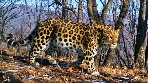 Один из старейших дальневосточных леопардов на территории национального парка Земля леопарда в Приморском крае