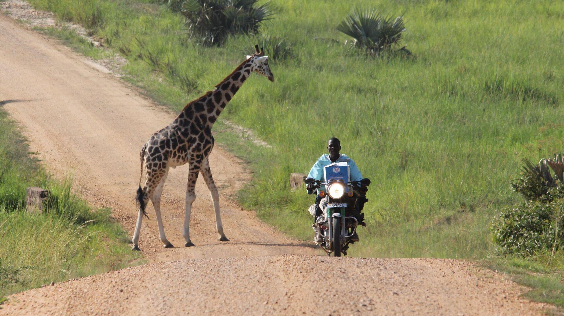 Мотоциклист проезжает мимо жирафа в Уганде - РИА Новости, 1920, 14.10.2020