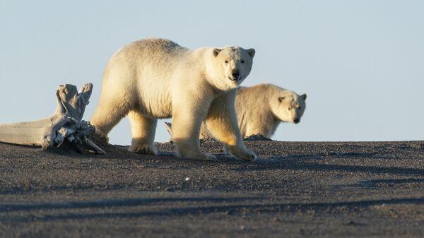 Белые медведи у села Рыркайпий в Иультинском районе Чукотского автономного округа России