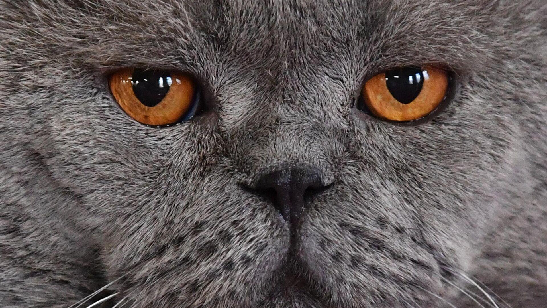 Кошка породы британская на выставке КоШарики-Шоу в Москве - РИА Новости, 1920, 10.12.2020