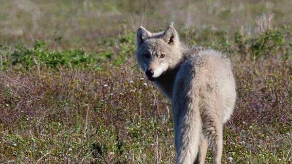 Волк в Кроноцком заповеднике