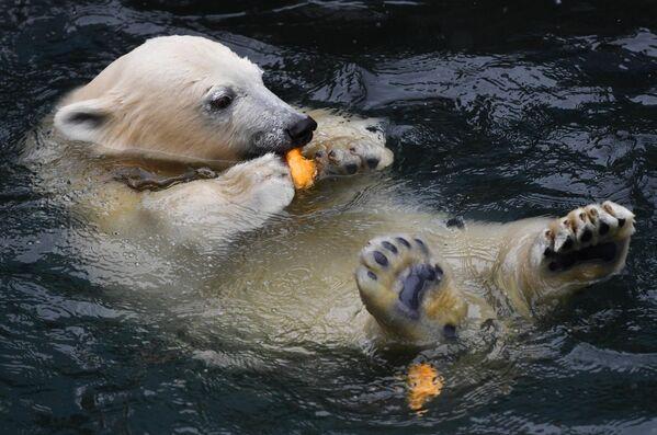 Белый медведь плавает в бассейне в вольере Новосибирского зоопарка имени Р. А. Шило