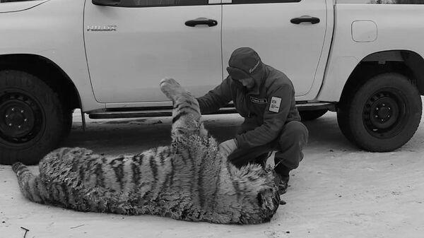 Тигрица, погибшая в ДТП в Хабаровском крае