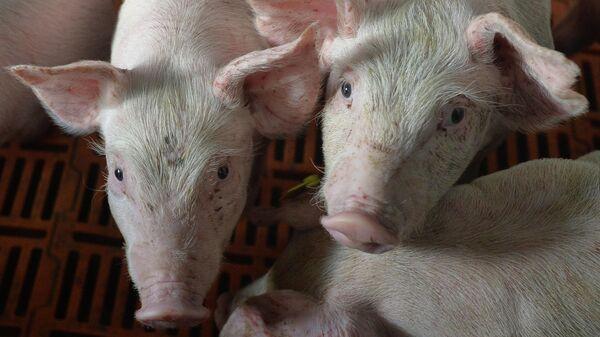 Родниковский свинокомплекс в Челябинской области