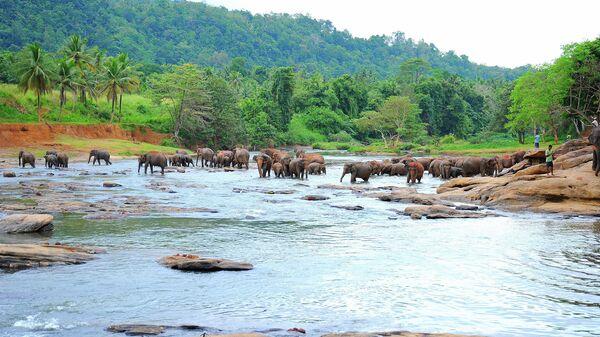 Слоны на острове Шри-Ланка