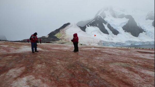 Цветение красных и зеленых снежных водорослей в Антарктиде
