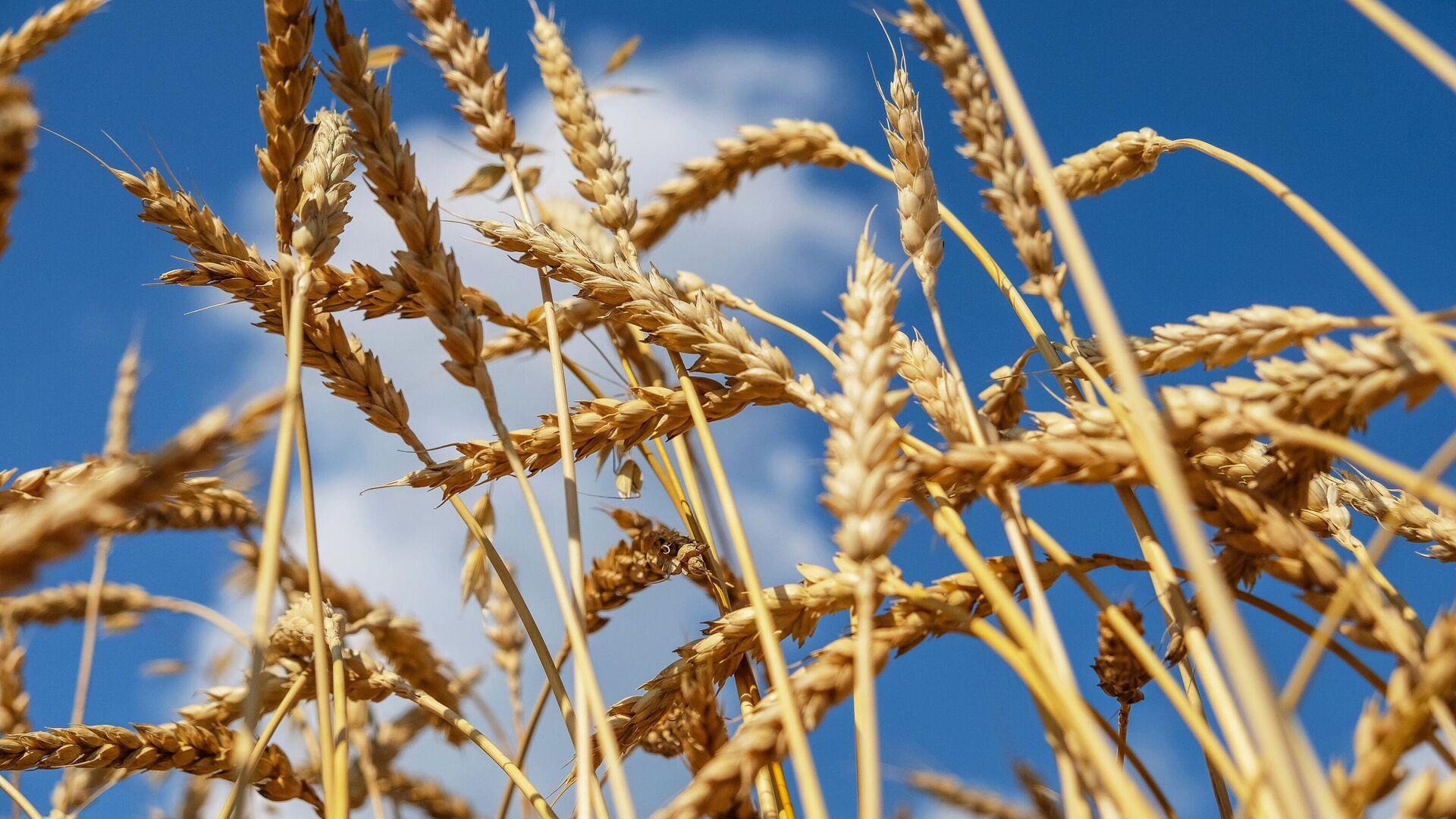 Пшеничное поле - РИА Новости, 1920, 01.03.2021
