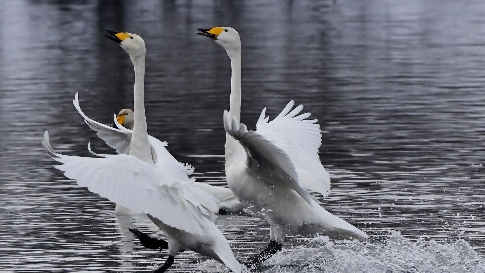 Лебеди-кликуны на Лебедином озере, расположенном на территории государственного природного комплексного заказника Лебединый в Алтайском крае - РИА Новости, 1920, 03.03.2021