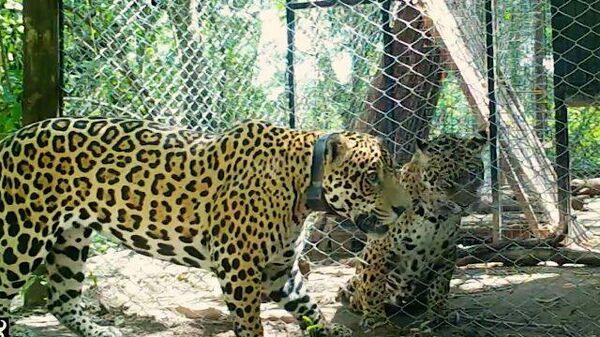 Любовь в неволе: у дикого ягуара и самки из зоопарка появилось потомство