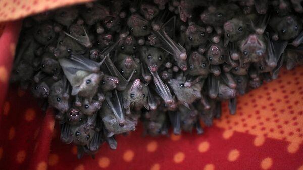 Фруктовые летучие мыши (Rousettus aegyptiacus)
