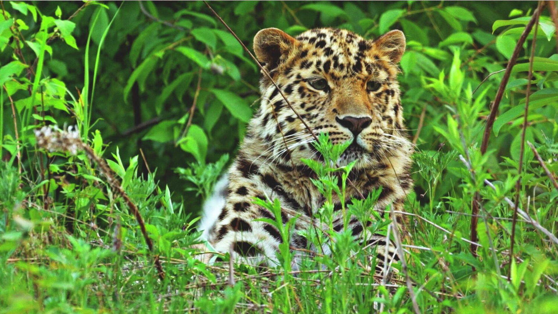 Дальневосточный леопард - РИА Новости, 1920, 01.03.2021