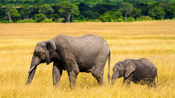 Cлоны в национальном заповеднике Масаи-Мара в Кении