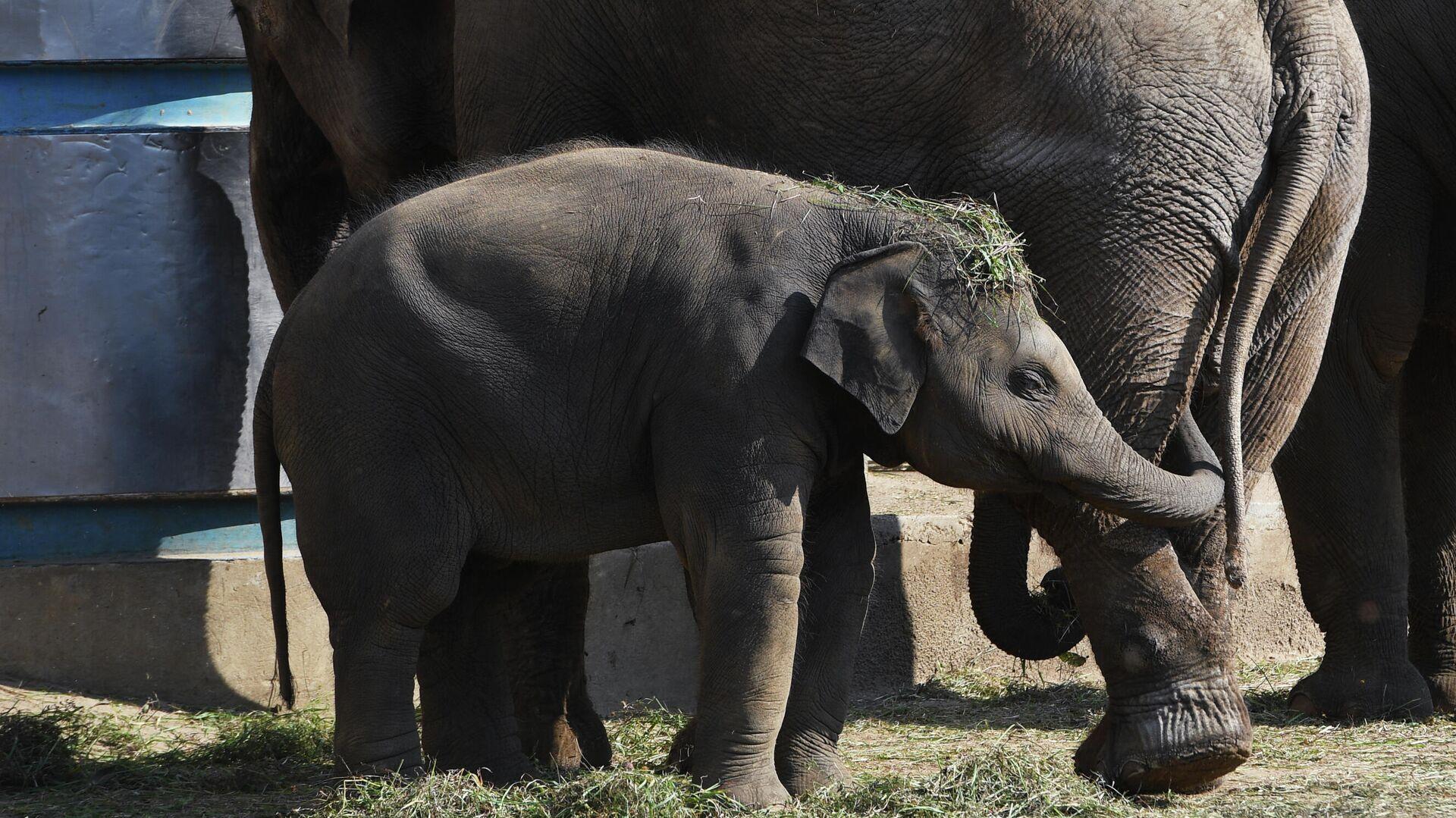 Азиатские слоны в Московском зоопарке - РИА Новости, 1920, 05.03.2021