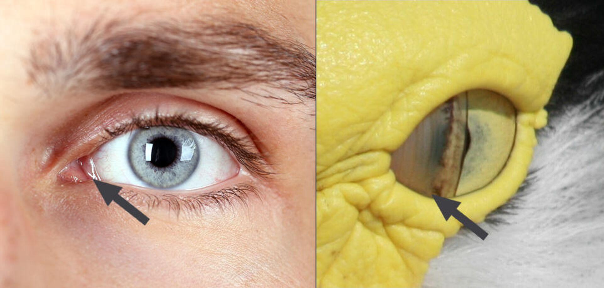 Полулунная складка левого глаза человека и мигательная перепонка левого глаза солдатского чибиса - РИА Новости, 1920, 10.03.2021