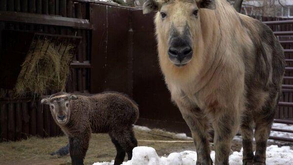 Краснокнижный сычуаньский такин в Московском зоопарке