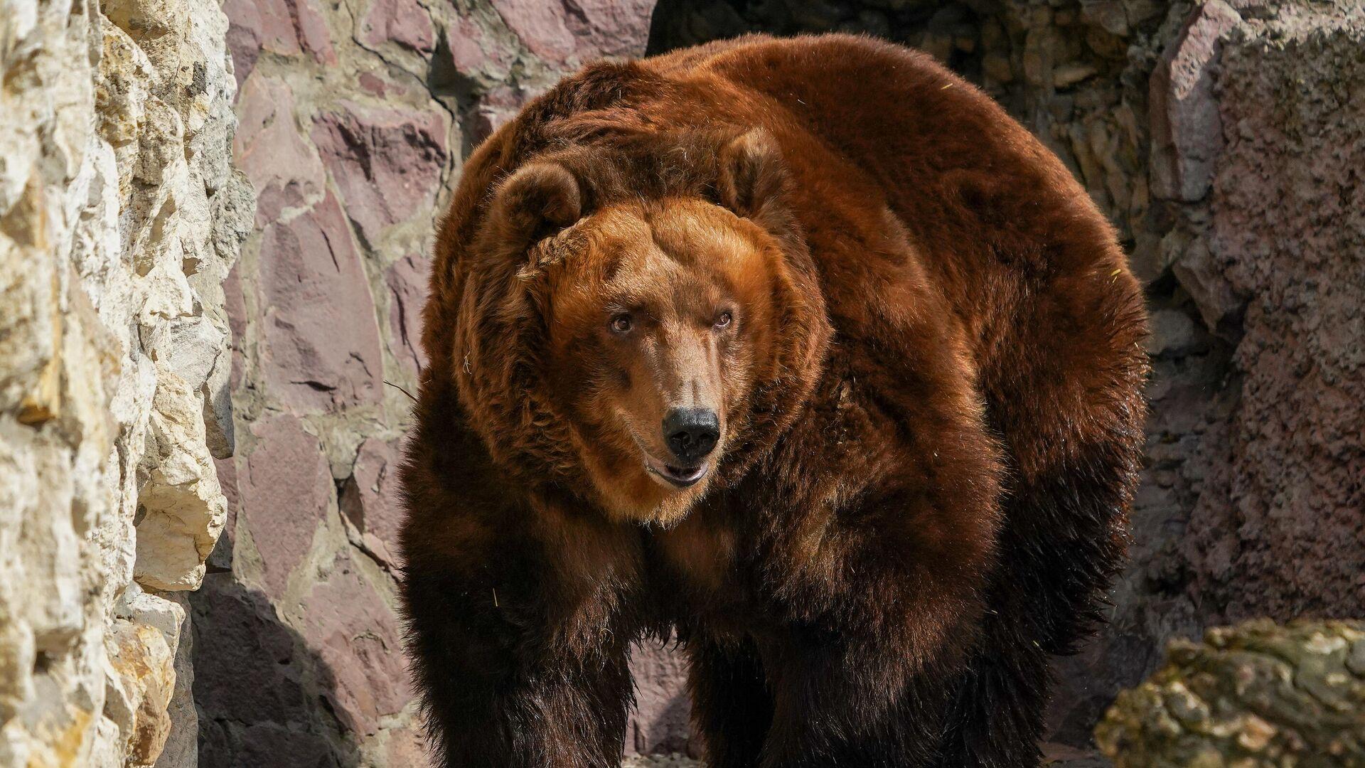 Бурый медведь в вольере Московского зоопарка - РИА Новости, 1920, 08.06.2021