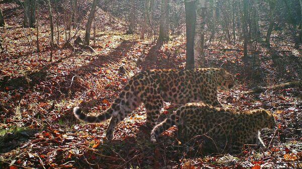 Леопарды в национальном парке Земля леопарда в Приморском крае