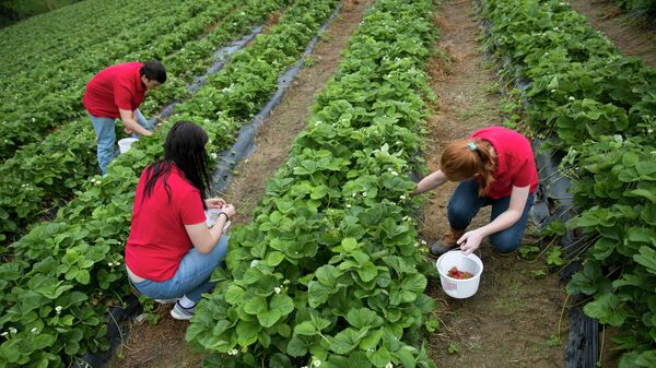 Сбор клубники на ферме в США