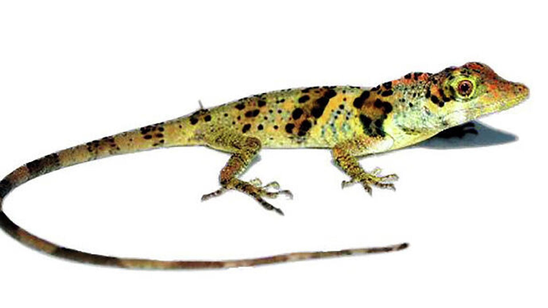 В Эквадоре обнаружили новый вид ящериц