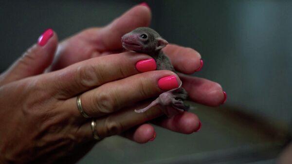 Беби-бум рукокрылых: в Московском зоопарке родились детеныши летучих мышей и крыланов